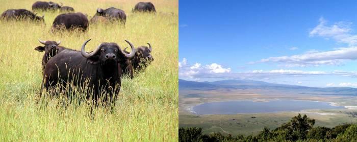 Сафари Нгоронгоро - увлекательнейшее занятие. /Фото:africanmeccasafaris.com