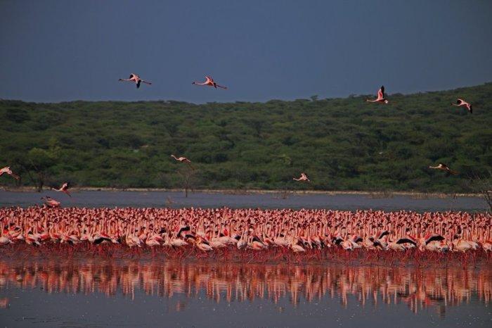Розовая сказка. /Фото:birdlife.org