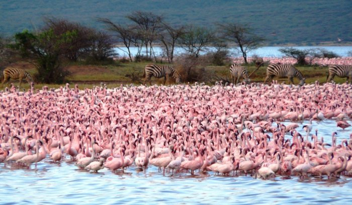 Зебры соседствуют с фламинго. /Фото:wikiway.com/