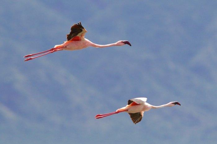 Фламинго Богории. /Фото: wikiway.com/