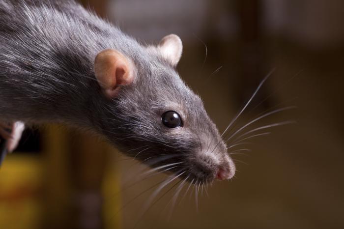 Чтобы решить проблему, нужно было уничтожить крыс.