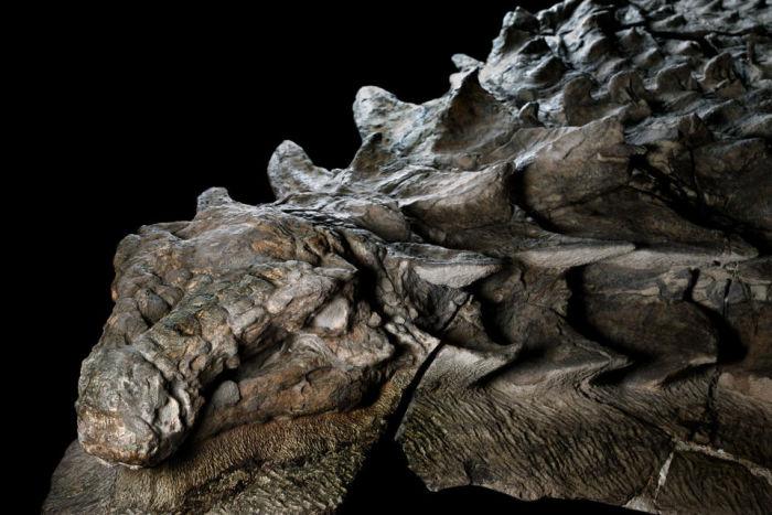 Поверхностьтела динозавра очень хорошо сохранилась. /Фото:nationalgeographic.com