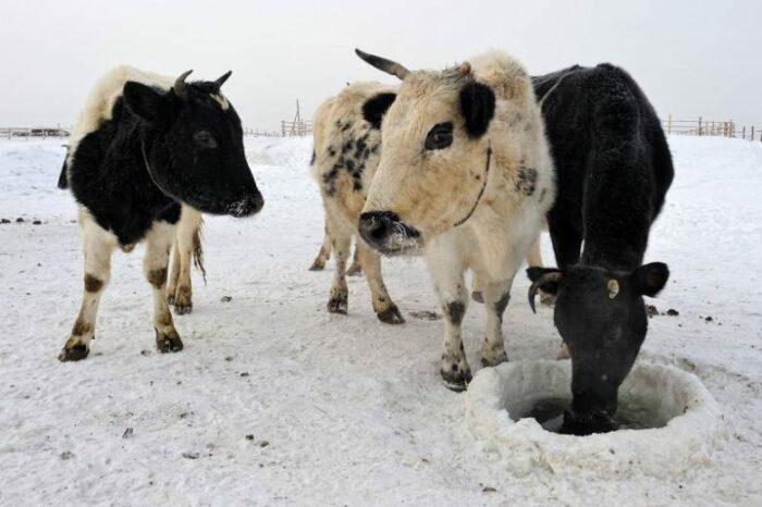 Коровы Якутии унаследовали генетические варианты от древних предков. /Фото:ftimes.ru/