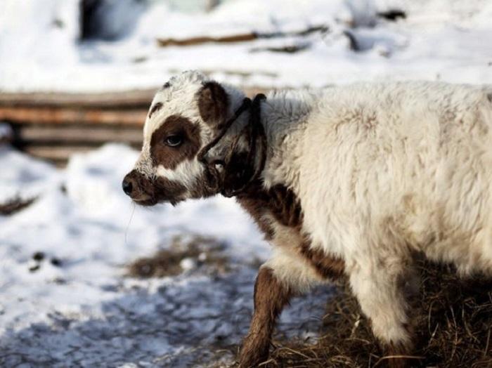 Телёнок якутской породы несет в себе гены предков. /Фото:ramzoo.ru