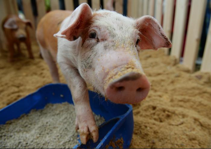 Свиньи не так глупы, как кажется, и порой способны на настоящие подвиги. /Фото: РИА Новости, Павел Лисицын