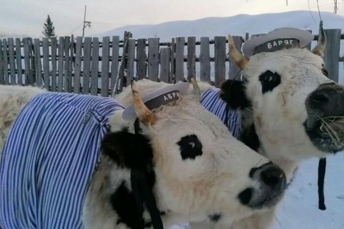 Быки-близнецы Отуй и Тотуй, победители проведенного в Якутии конкурса красоты среди коров. /Фото:@es_kepsee в Instagram