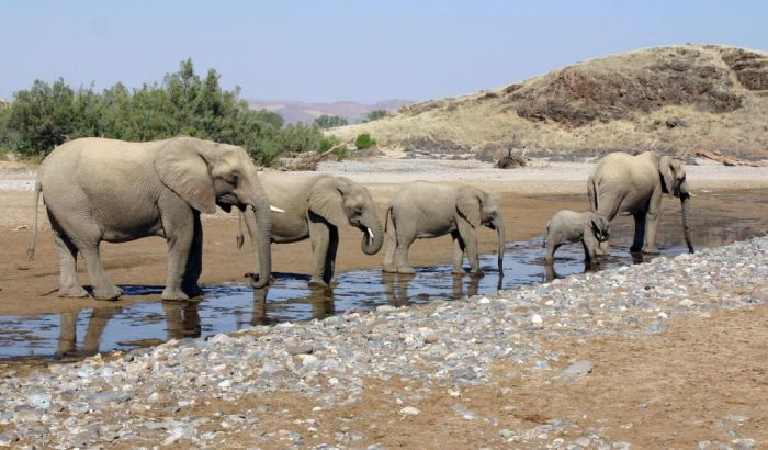 Слоны Намибии - корабли пустыни. /Фото:scottdunn.com