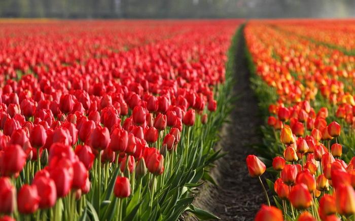 Традиционный голландский цвет - оранжевый. Но на флаге Нидерландов его нет