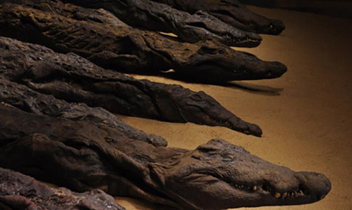 Мумии священных крокодилов
