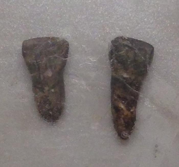 Юаньмоуский человек, древнейший из вида человек прямоходящий, определен по двум найденным на территории Китая зубам
