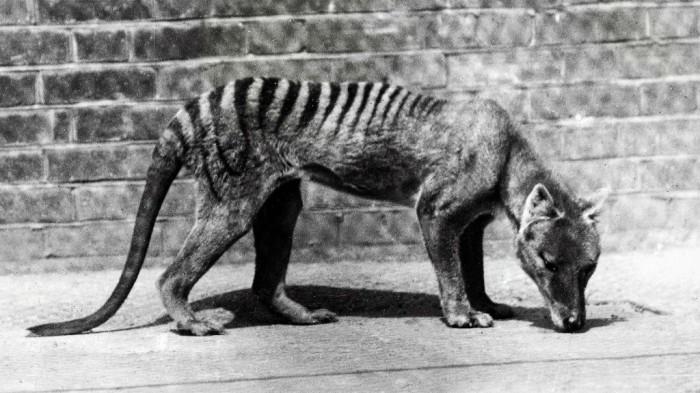 Другие жители Тасмании - сумчатые волки - были полностью истреблены к середине 20 века