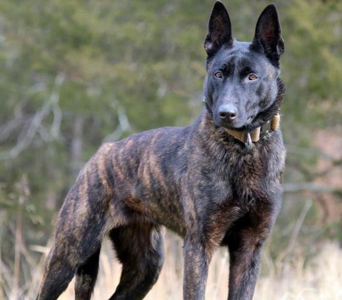 И порода собак носит название «голландская овчарка»