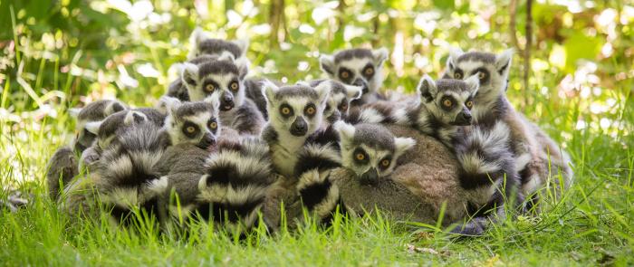 Обитающие на Мадагаскаре лемуры и не подозревают, что в их честь назван целый материк. Правда, гипотетический