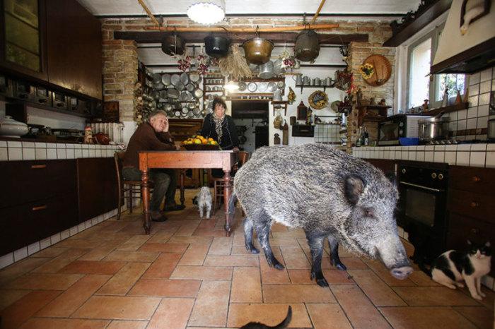 Паскалина – дикая свинка, которая живет в доме