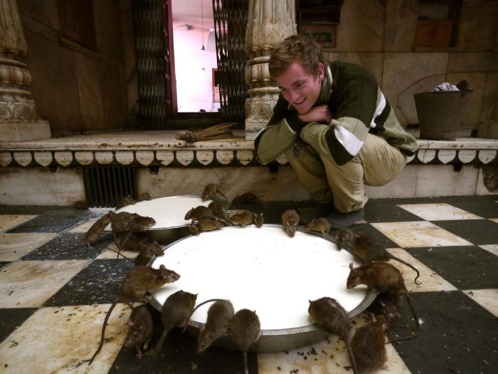 Храм крыс привлекает не только верующих, но и множество туристов