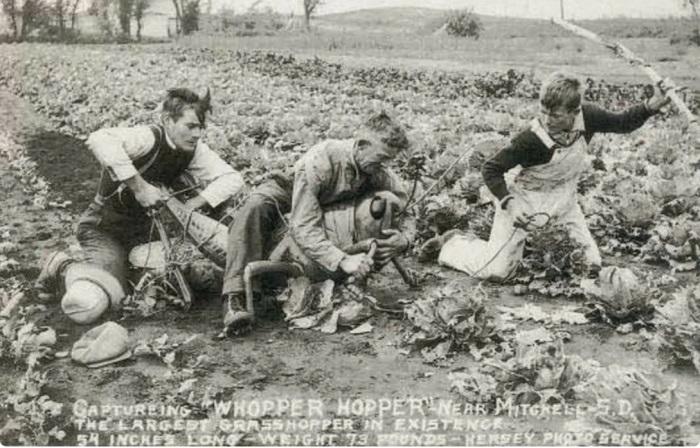 Гигантские кузнечики стали популярными героями открыток 30-х годов