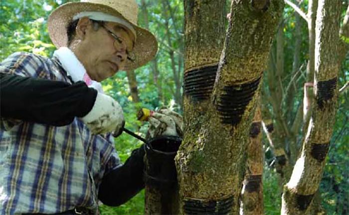 Сбор сока лакового дерева