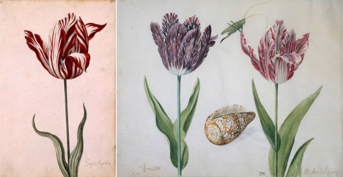 Пестролепестные тюльпаны 1630-х годов. Слева – «Semper Augustus» (листы каталога тюльпанов из Нидерландского историко-экономического собрания)