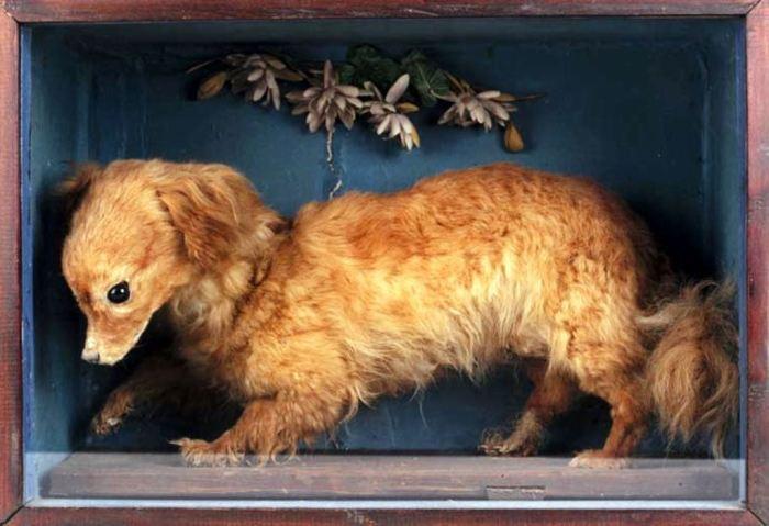 Чучело вертельной собаки (предположительно 1840-е годы)