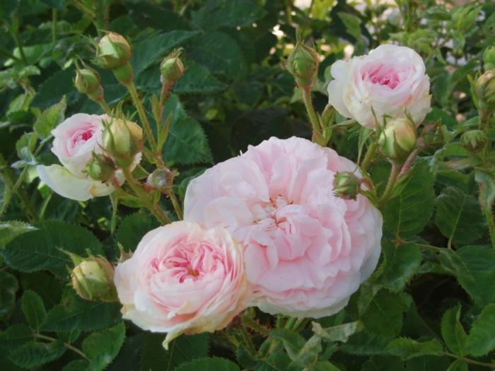 Розы сорта Cuisse de nymphe еmue