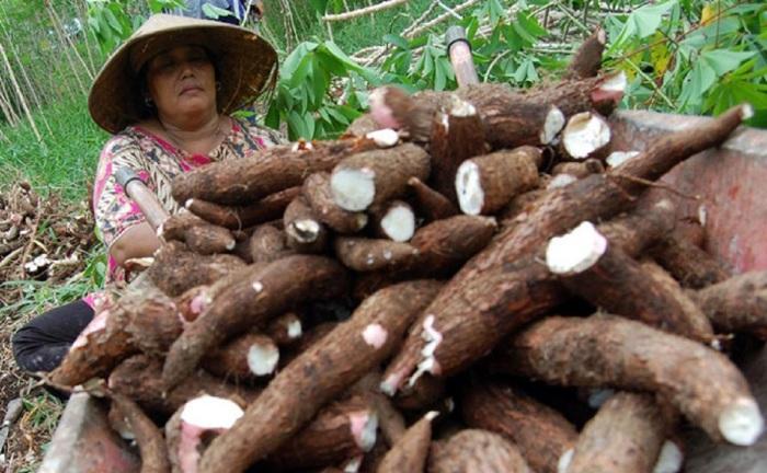 Ядовитые в сыром виде корни маниоки – важная часть питания жителей стран Африки и Южной Америки