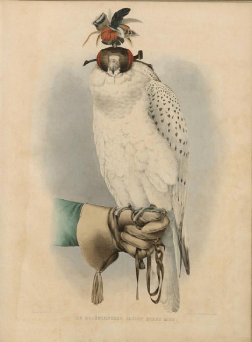 Белый сокол в клобуке (шапочке, закрывающей глаза)