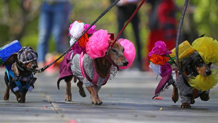 Парад такс – это очень красочное зрелище