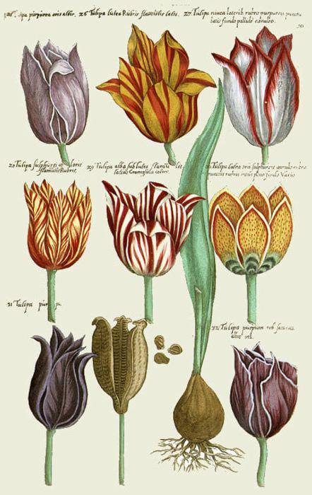 Тюльпаны разных видов, рисунок 1647 года. В те времена стало очень модным рисовать тюльпаны. Так люди пытались сохранить память об их хрупкой красоте, а после лавинообразного повышения цен рисунки стали более дешевым заменителем самих цветов, которые начали стоить целое состояние.