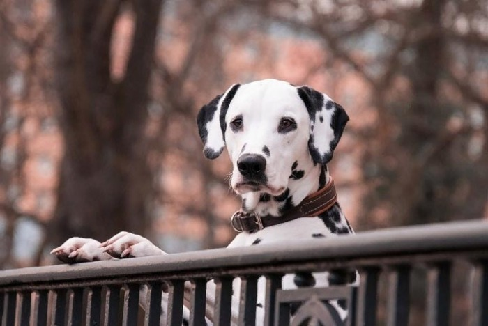 After the release of the famous film, the Dalmatians became the most popular breed for several years.