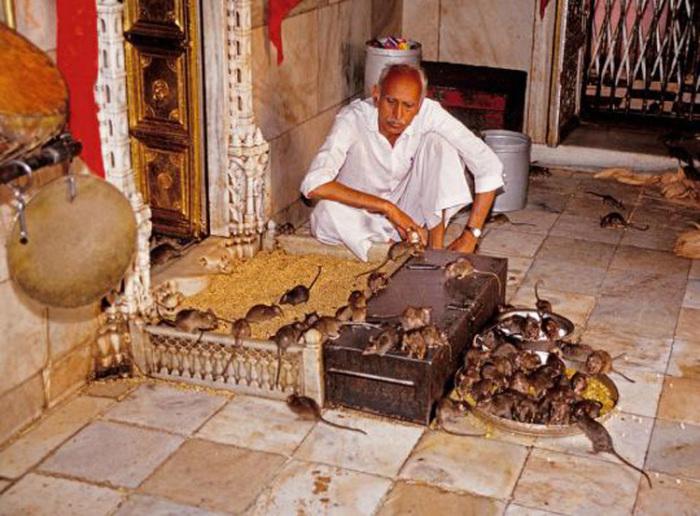 Храм крыс в Дешноке – святое место для всех местных жителей