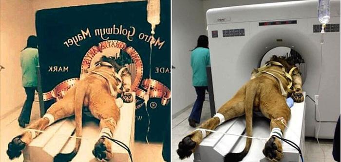 Как якобы снимали заставку «Metro-Goldwyn-Mayer». Исходные фотографии были сделаны в ветеринарной клинике