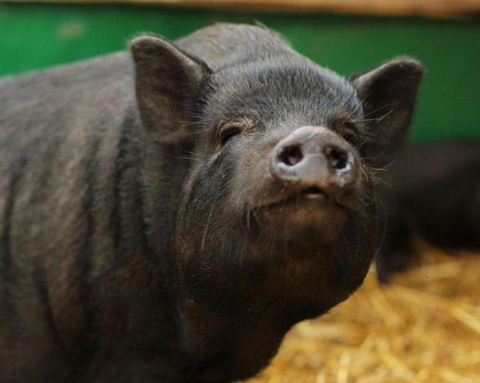 Домашние свиньи могут быть настоящими друзьями для людей