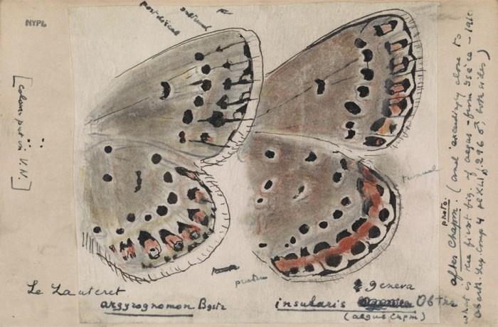 Изображение крыльев голубянок из района Берингова пролива, рисунок В. Набокова