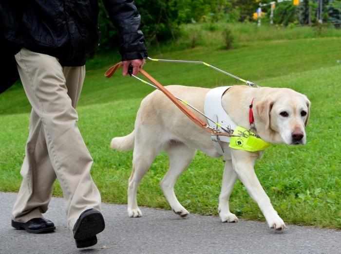 Собака-поводырь. / Фото: www.rbsmi.ru