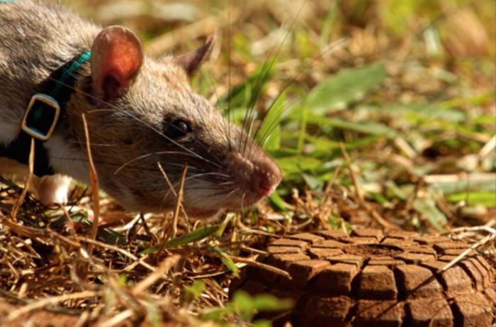 Крыса может обнаружить мину. / Фото: www.ytimg.com