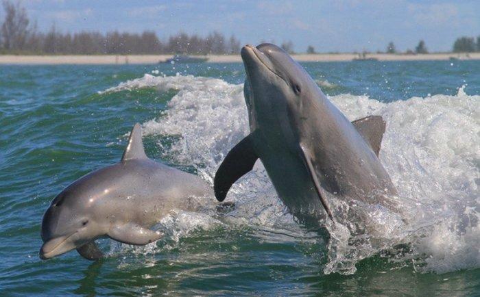 Дельфины оберегают пляжи от акул. / Фото: www.mur.tv