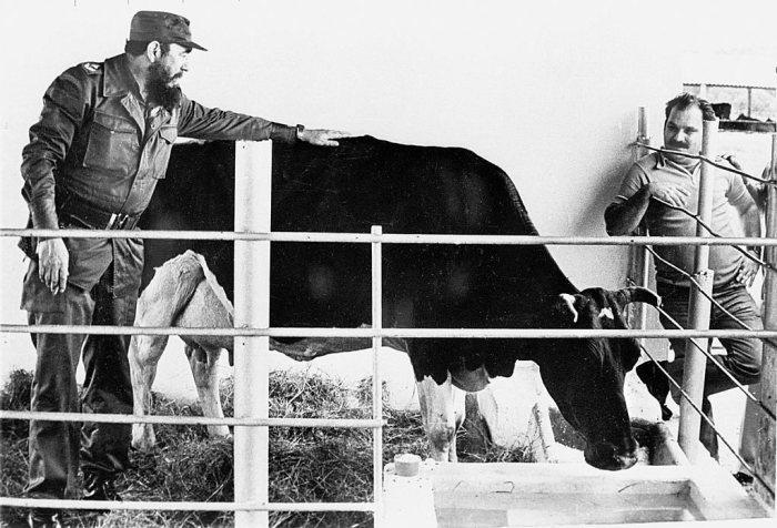 Фидель Кастро гладит корову Убре Бланка, чье имя означает «белое вымя». / Фото: www.atlasobscura.com