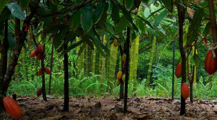 Шоколадные деревья. / Фото: www.goodfon.com