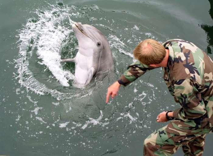 Военная подготовка дельфинов. / Фото: www.britannica.com