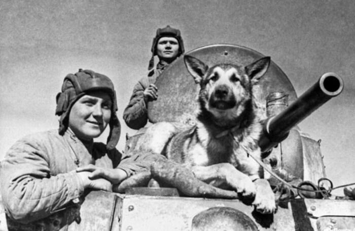 Легендарный Джульбарс, собака-миноискатель. / Фото: www.klkfavorit.ru