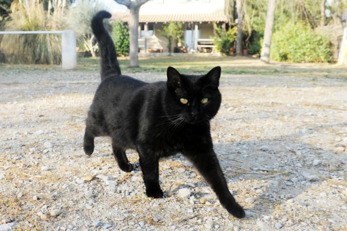 Черная кошка приносит несчастье?