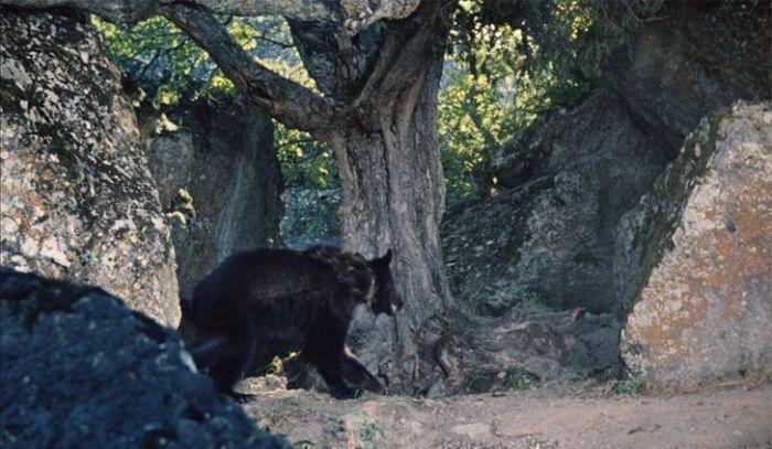 С медведя забыли снять ошейник