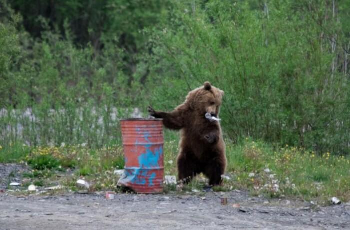 Мусорки и свалки часто привлекают медведей.