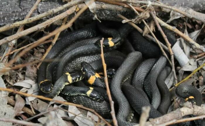 Боязнь змей одна из самых распространенных фобий в мире.