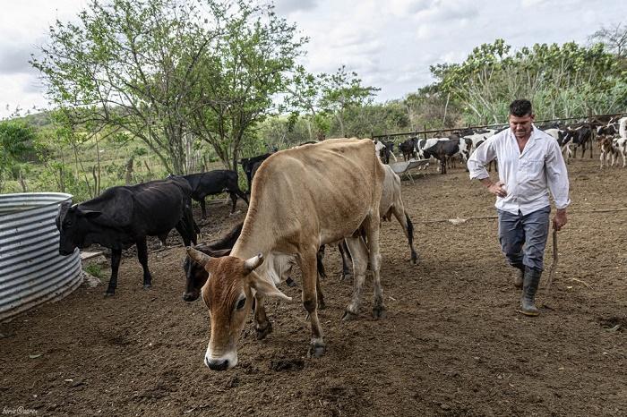 На Кубе до сих пор держат коров и быков породы зебу. Правда, большинство из них используют как тягловый транспорт или как источник мяса / Источник: haizafon.live