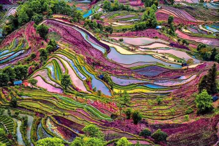 Рисовые поля в весеннем цвету / Фото: pravlife.org