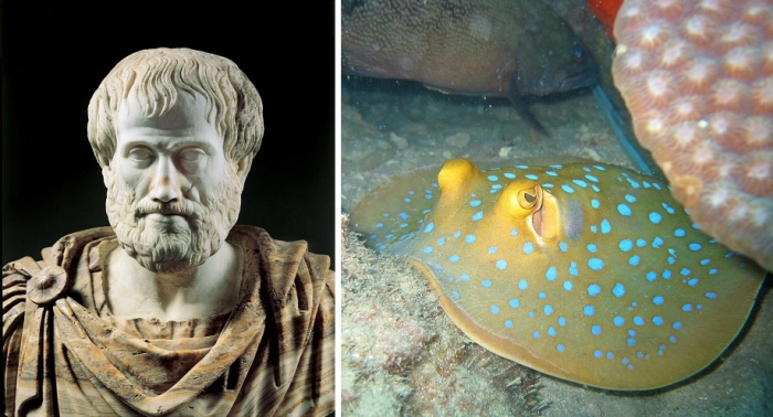 Аристотель в своем труде описывал способность электрического ската оглушать свою добычу.