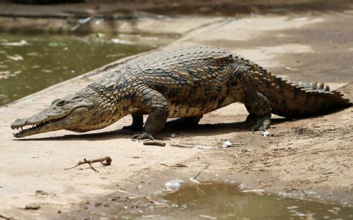 Крокодиловая ферма в джунглях Амазонки возле города Икитос. / Фото: bigpicture.ru