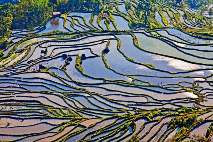 Залитые водой террасы, вырезанные для выращивания риса / Фото: udivitelno.com