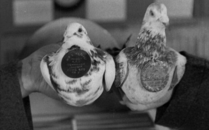 Британские почтовые голуби-герои Королевских ВВС / Источник: interweber.ru